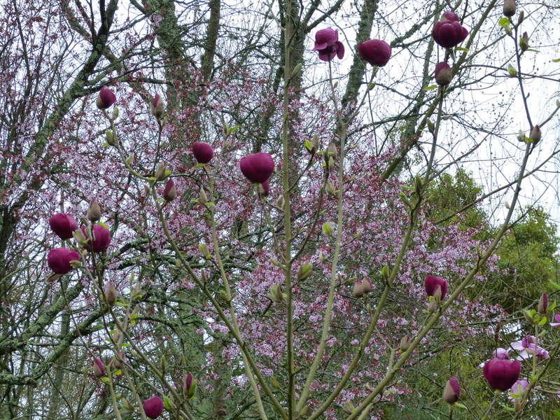 Magnolia 'Black Tulip' Magnol20