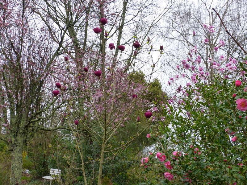 Magnolia 'Black Tulip' Magnol22