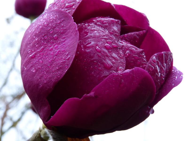 Magnolia 'Black Tulip' Magnol23