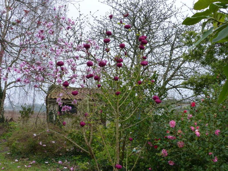 Magnolia 'Black Tulip' Magnol29
