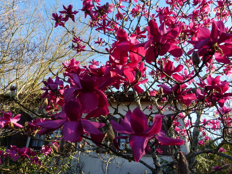 Magnolia 'Vulcan' Magnol30
