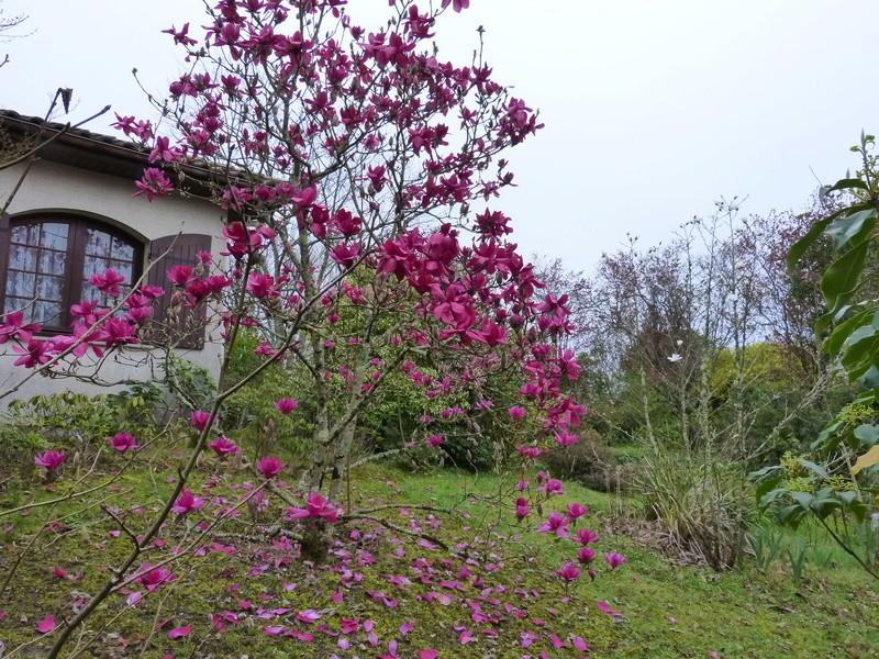 Magnolia 'Vulcan' Magnol31