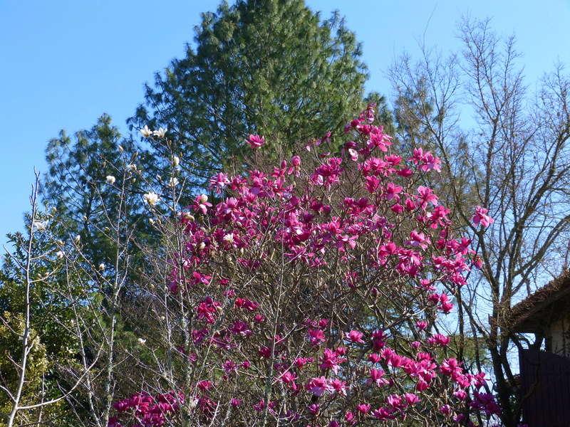 Magnolia 'Vulcan' Magnol32