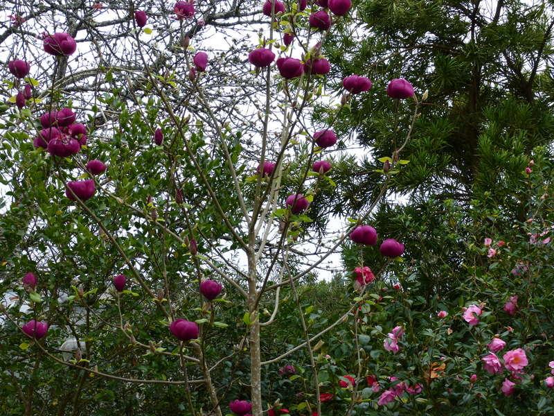 Magnolia 'Black Tulip' Magnol33