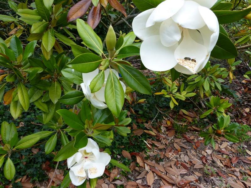 ces quelques fleurs de nos jardins Magnol38