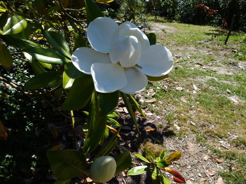 ces quelques fleurs de nos jardins Magnol39