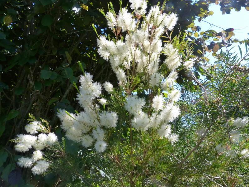 ces quelques fleurs de nos jardins - Page 3 Melale13