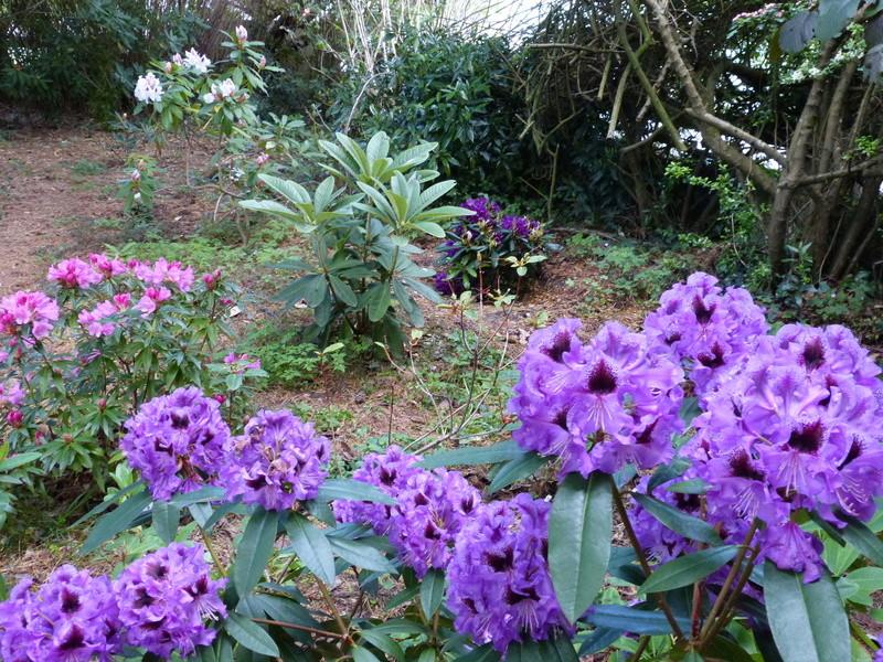 C'est le printemps dans nos jardins ! Belles associations Rhodod23