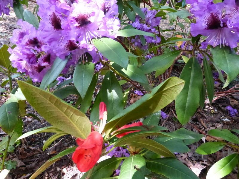 C'est le printemps dans nos jardins ! Belles associations Rhodod25
