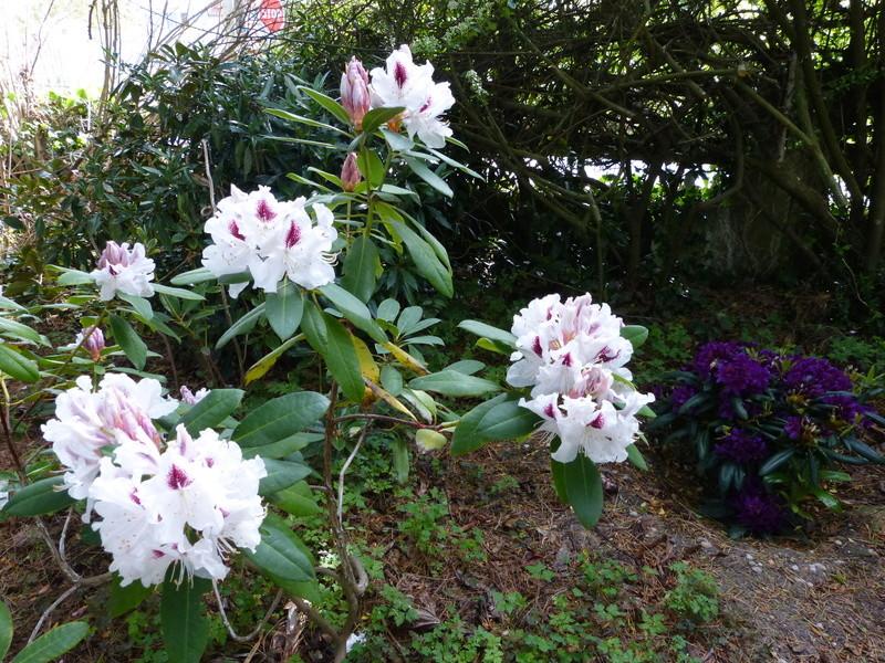 C'est le printemps dans nos jardins ! Belles associations Rhodod26