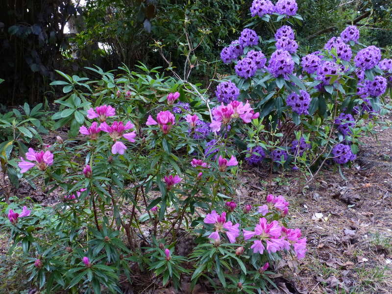 C'est le printemps dans nos jardins ! Belles associations Rhodod27