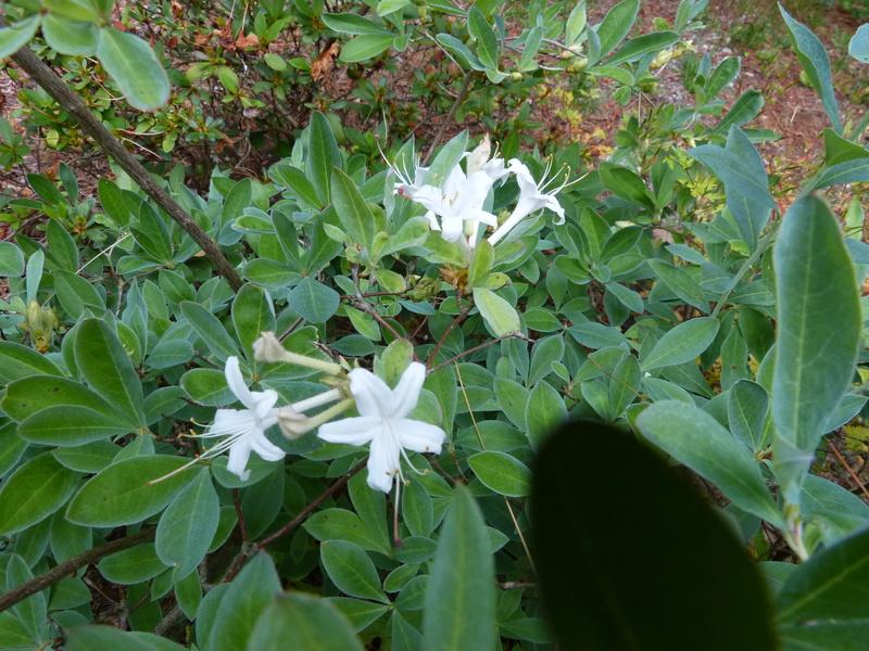 ces quelques fleurs de nos jardins Rhodod32