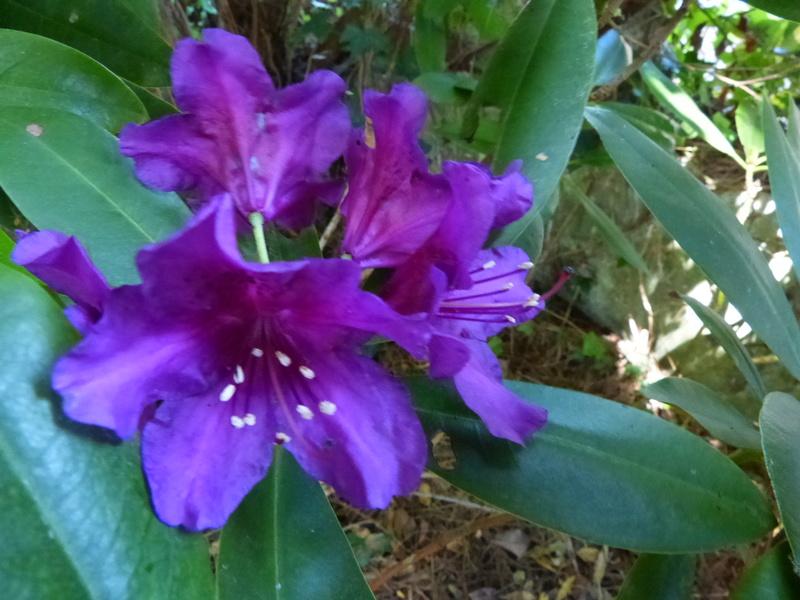 ces quelques fleurs de nos jardins Rhodod34
