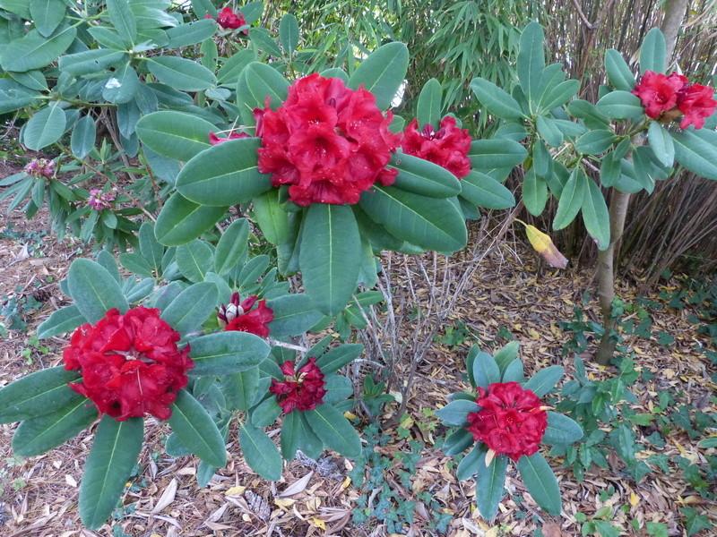ces quelques fleurs de nos jardins Rhodod35
