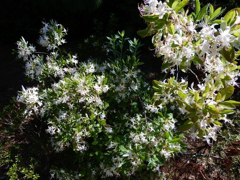 ces quelques fleurs de nos jardins - Page 2 Rhodod37