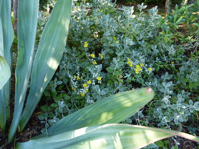 ces quelques fleurs de nos jardins - Page 3 Seneci10