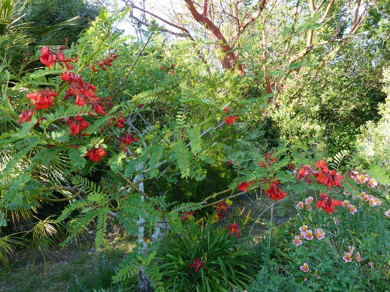 ces quelques fleurs de nos jardins - Page 3 Sesban11