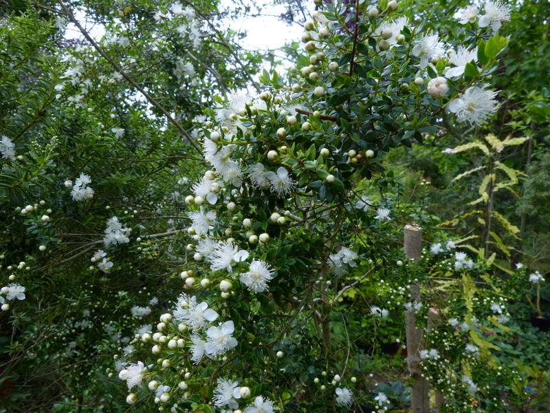 ces quelques fleurs de nos jardins - Page 2 Tepual10