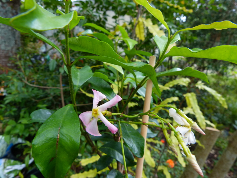 ces quelques fleurs de nos jardins - Page 2 Trache10