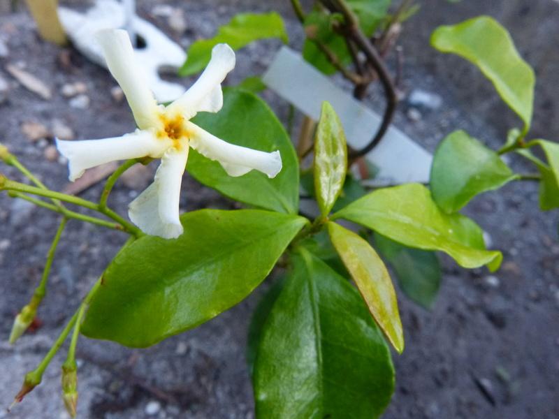 ces quelques fleurs de nos jardins - Page 2 Trache11