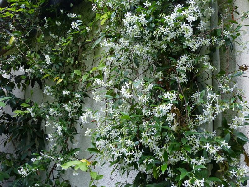 ces quelques fleurs de nos jardins - Page 2 Trache13