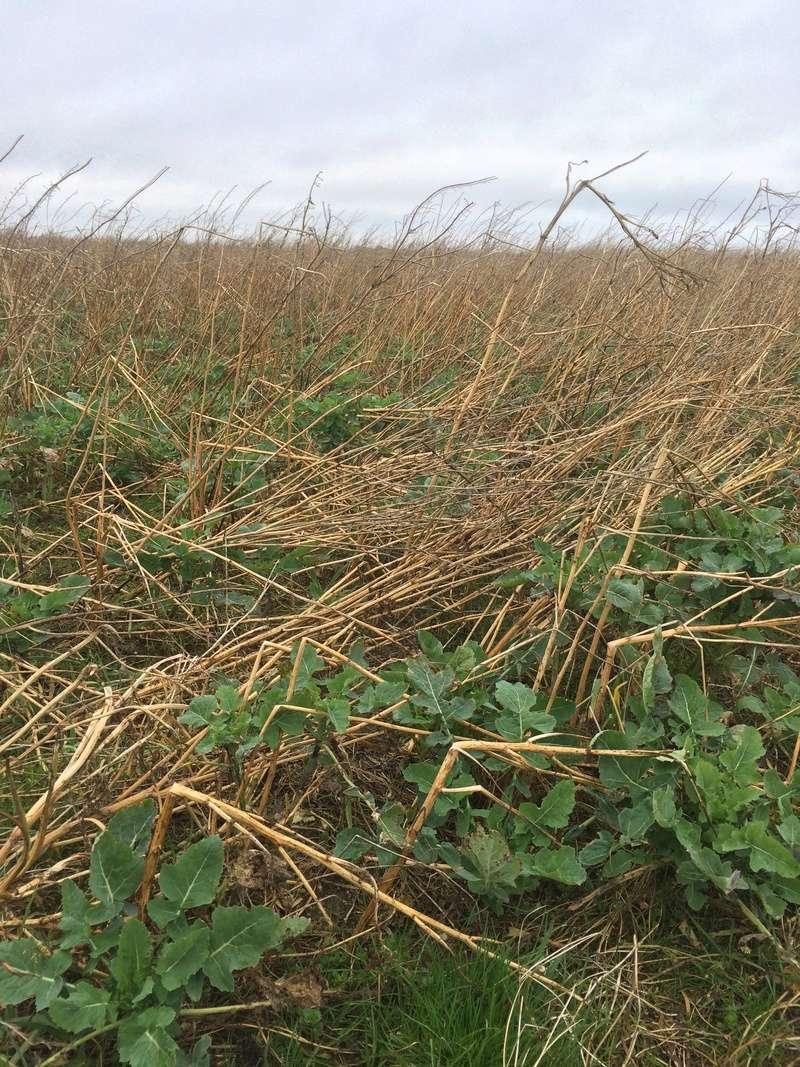 couvert hivernale, pensez au mélange Agrifaune Img_0712