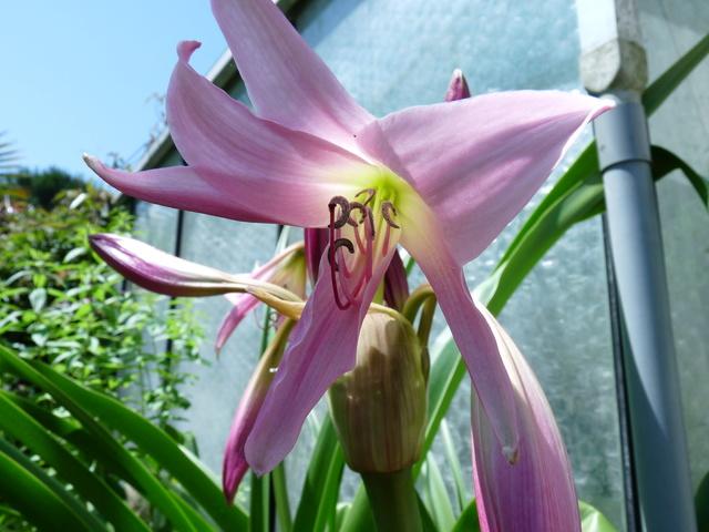 ces quelques fleurs de nos jardins - Page 3 Crinum10