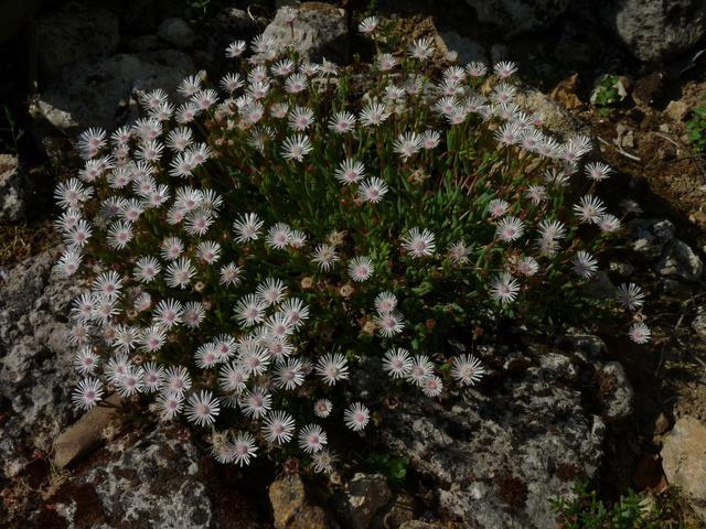 ces quelques fleurs de nos jardins - Page 3 Delosp10