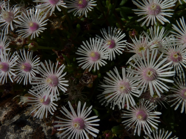 ces quelques fleurs de nos jardins - Page 3 Delosp12