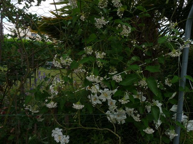 ces quelques fleurs de nos jardins - Page 3 Dregea13