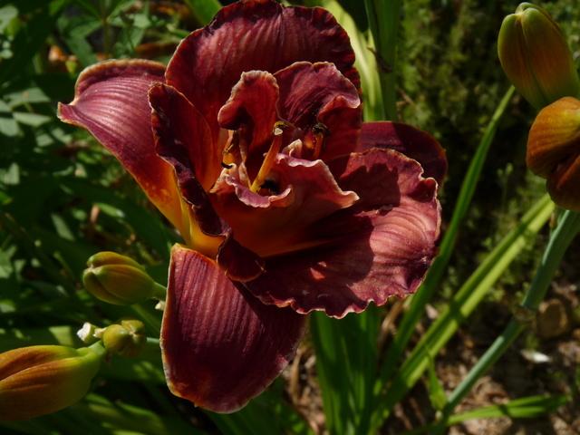 ces quelques fleurs de nos jardins - Page 3 Hemero17