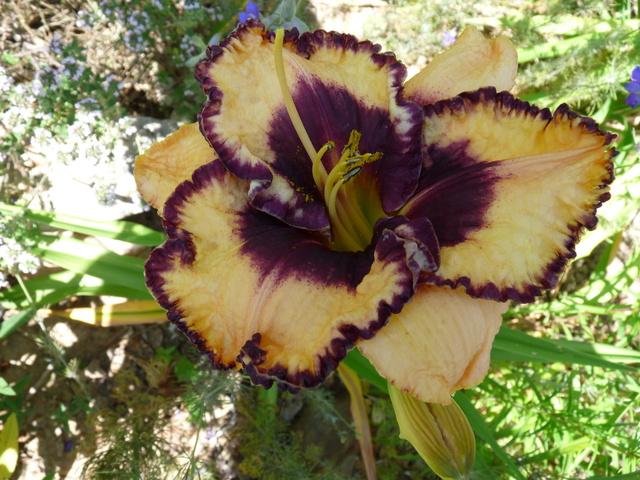 ces quelques fleurs de nos jardins - Page 3 Hemero18