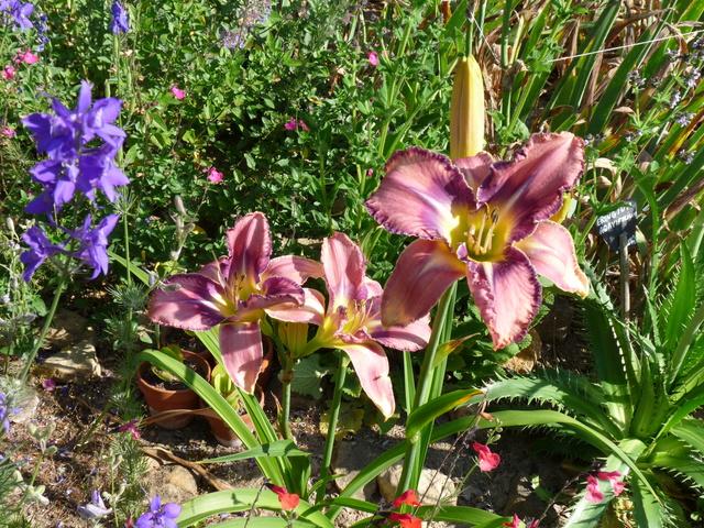 ces quelques fleurs de nos jardins - Page 3 Hemero19