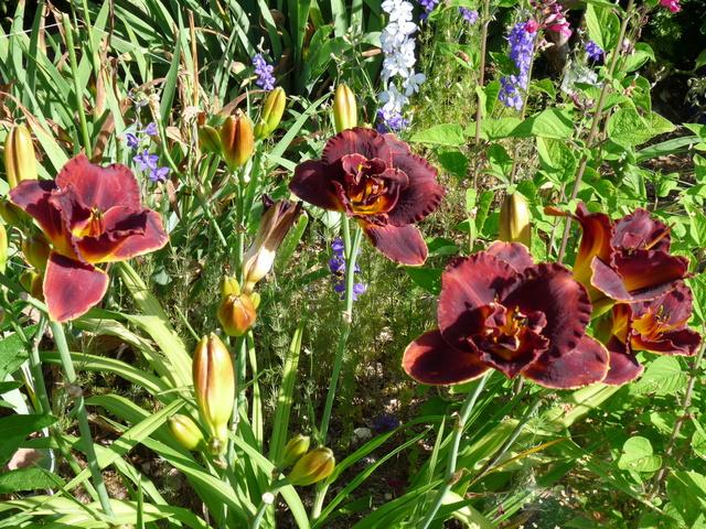 ces quelques fleurs de nos jardins - Page 3 Hemero20