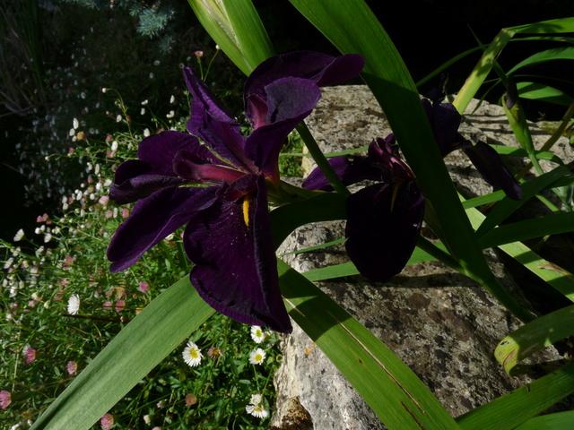 Iris ensata (= Iris kaempferi) - iris du Japon - Page 2 Iris_t10