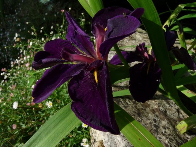 Iris ensata (= Iris kaempferi) - iris du Japon - Page 2 Iris_t11