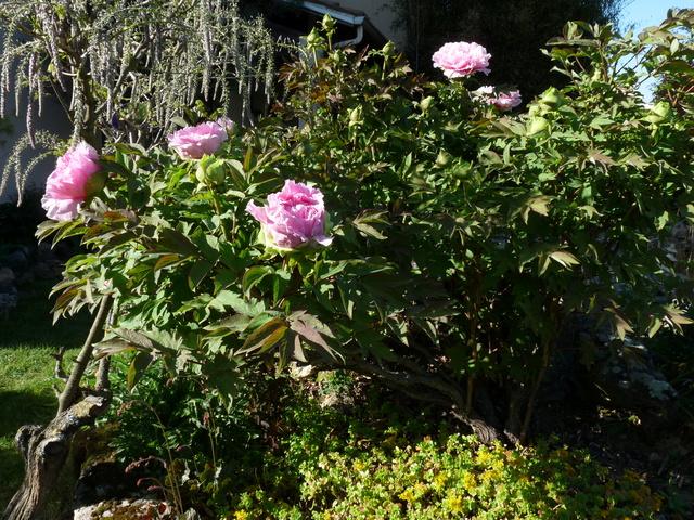 renouveau printanier au jardin - Page 2 P1030834