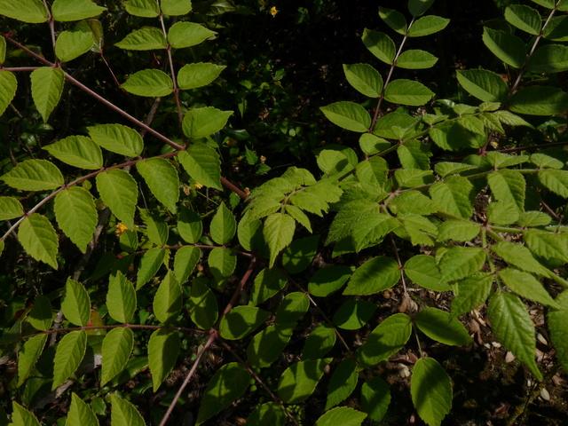 Aralia undulata - Page 2 P1040023