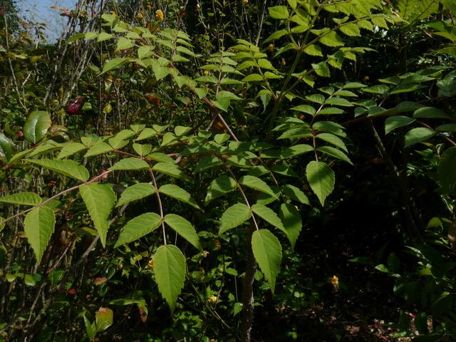 Aralia undulata - Page 2 P1040024