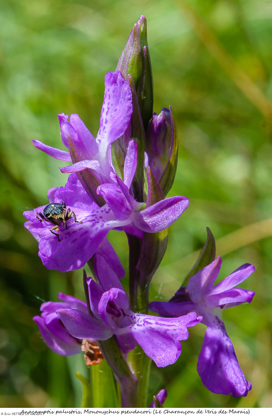 Pollinisateur ou pas ? Anacam64