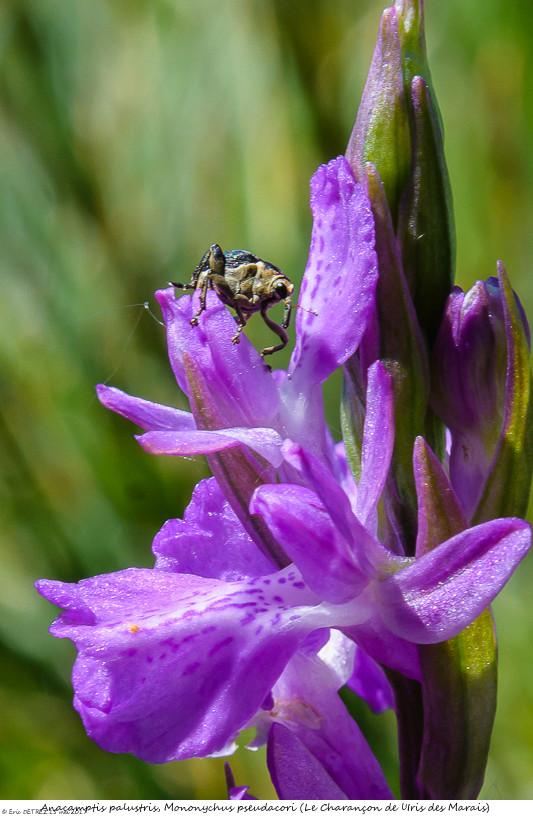 Pollinisateur ou pas ? Anacam65