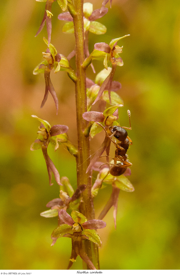 Pollinisateur ou pas ? Neotti25