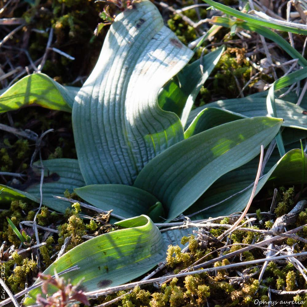 Quoi de neuf vers le Coiron ? Ophrys13