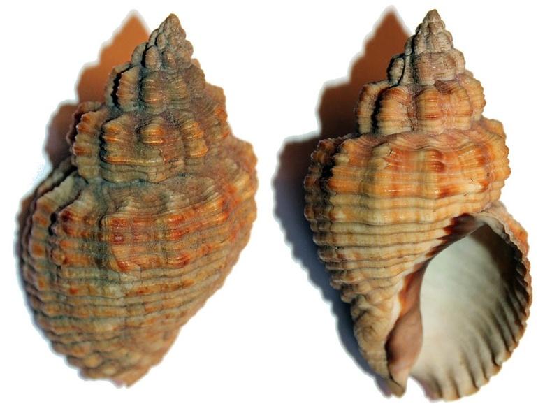 Cantharus melanostoma - (Sowerby I, 1825) Img_9711