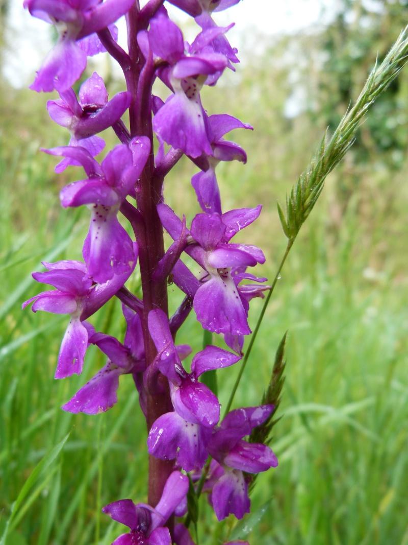 Les Orchidées se montrent... Orchis10