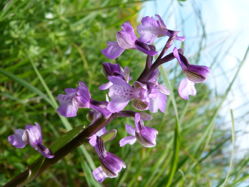 Les Orchidées se montrent... P1000910