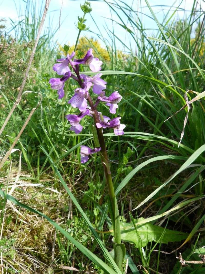 Les Orchidées se montrent... P1000912