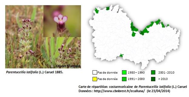 Découverte de Parentucellia latifolia ! Sans_t10