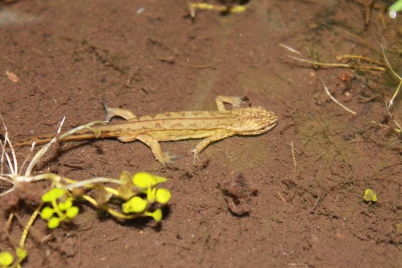 Inventaires des Amphibiens Triton10