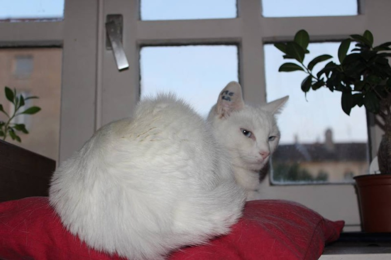 Haeleen née en août 2012 - Croisée siamoise blanche  13836310